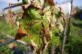 EM BIO, természetes biológiai alternatíva a fagykárok enyhítésében